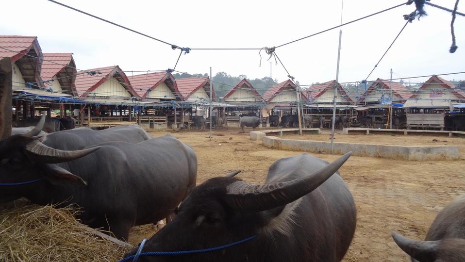 Sulawesi141-Toraja